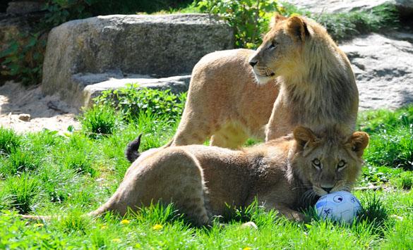 Tierpark Hellabrunn: 1860-Löwen haben jetzt einen Namen