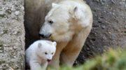 Tierpark Hellabrunn: Exklusiver Eisbären Tag zur Rettung der 'polar bears'